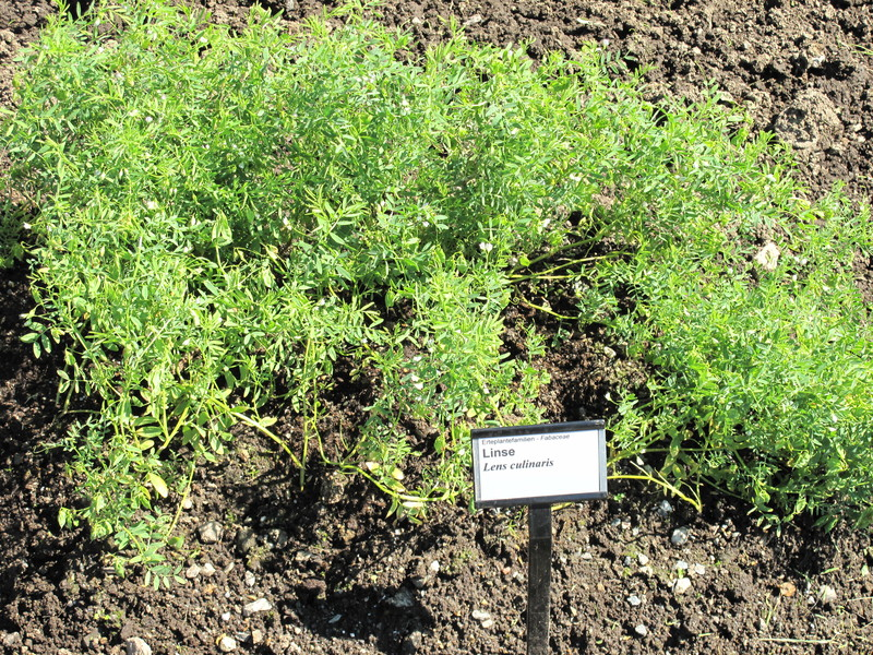 Выращивание чечевицы в сибири 8783